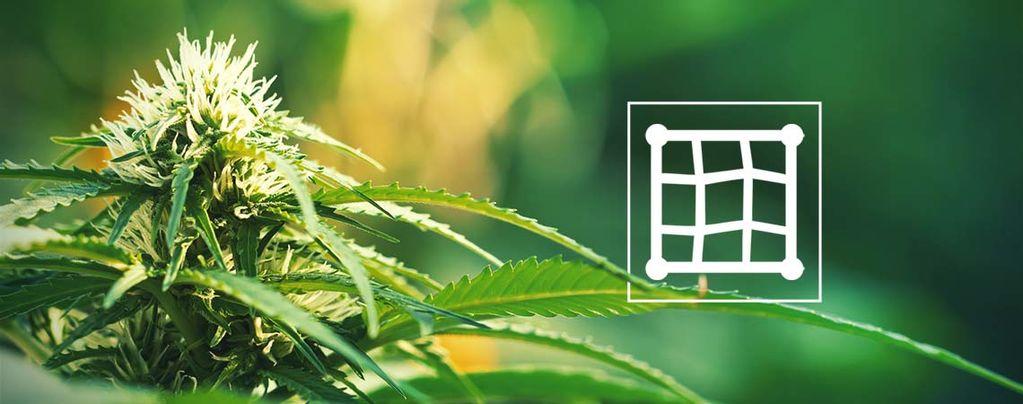 Cannabis Kweken In Een ScrOG