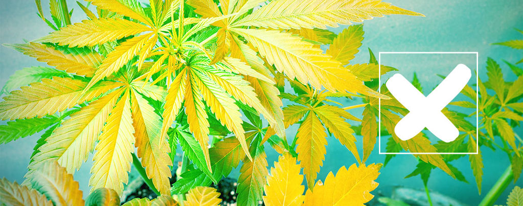 Gele Cannabis Bladeren