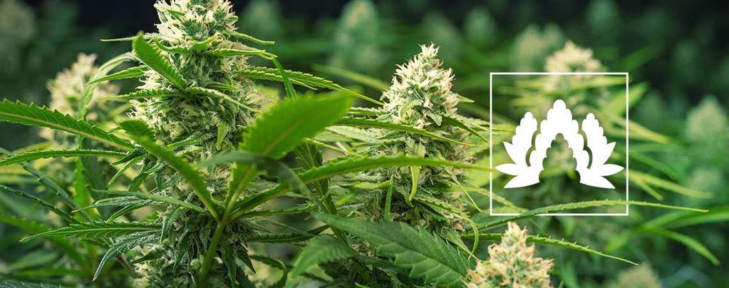 Beste Cannabis Soorten Voor Een Sea Of Green