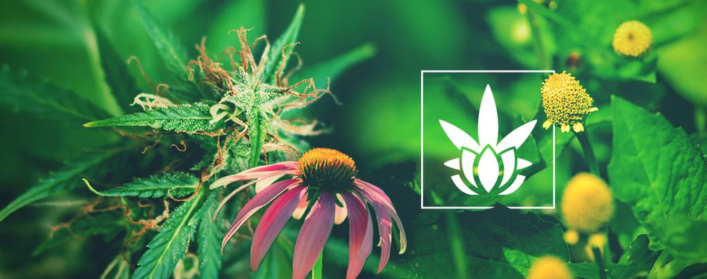 Welke Planten Cannabinoïden Bevatten