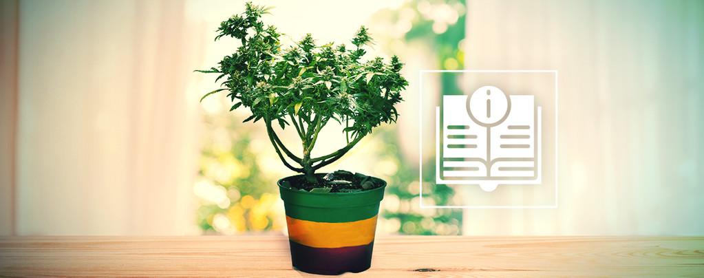 Alles Wat Je Zou Moeten Weten Over Cannabis Als Bonsais