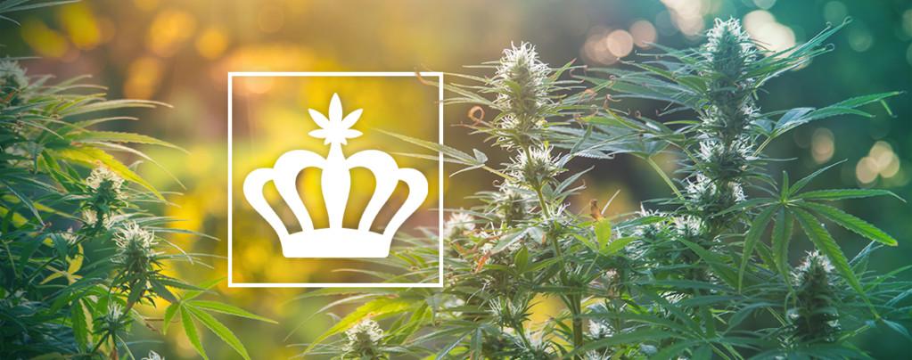 Heirloom Cannabisplanten