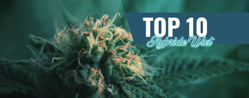 10 Beste Coffeeshops Van Amsterdam Hybride Cannabis