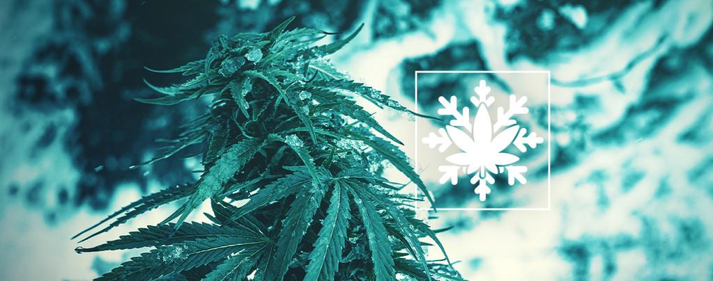 Hoe Kweek Je Cannabis In De Winter?