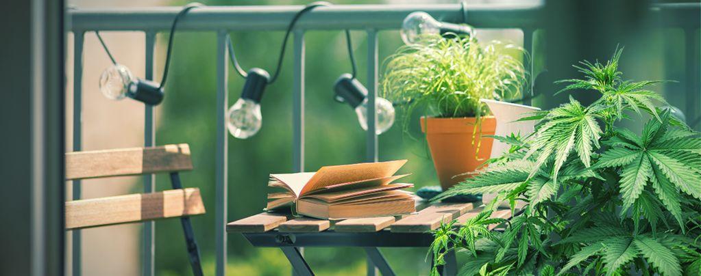 Top 10 Soorten Wiet Om Op Je Balkon Of Terras Te Kweken