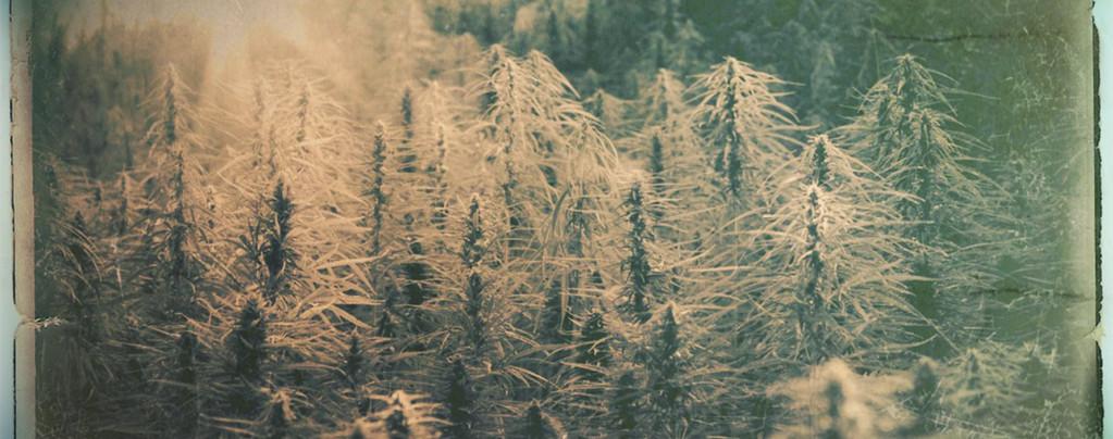 Wat zijn landsoorten en hun heirloom cannabissoorten?