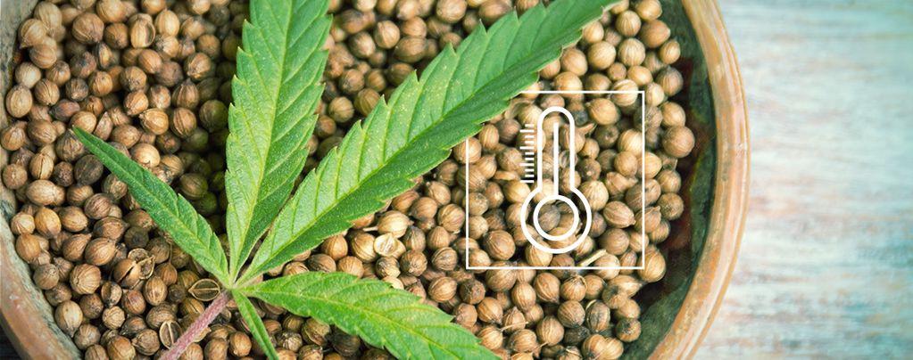Cannabis Zaden Voor De Buitenkweek
