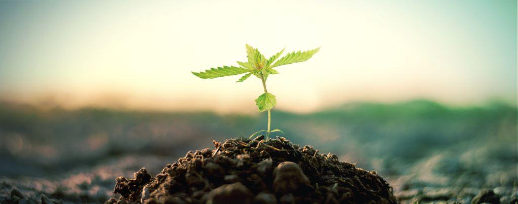 Compost Voor Het Kweken Van Cannabis