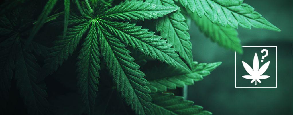 Wat Is Cannabis?