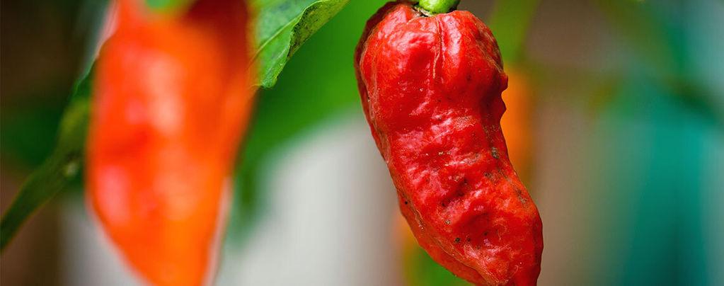 Ghost Pepper (Bhut Jolokia): Hoe Te Telen En Gebruiken