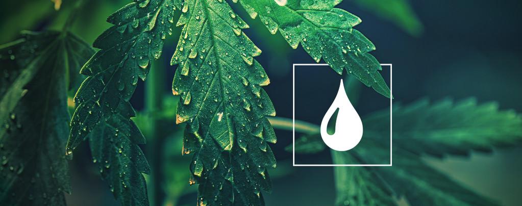 Cannabis Planten Water Geven