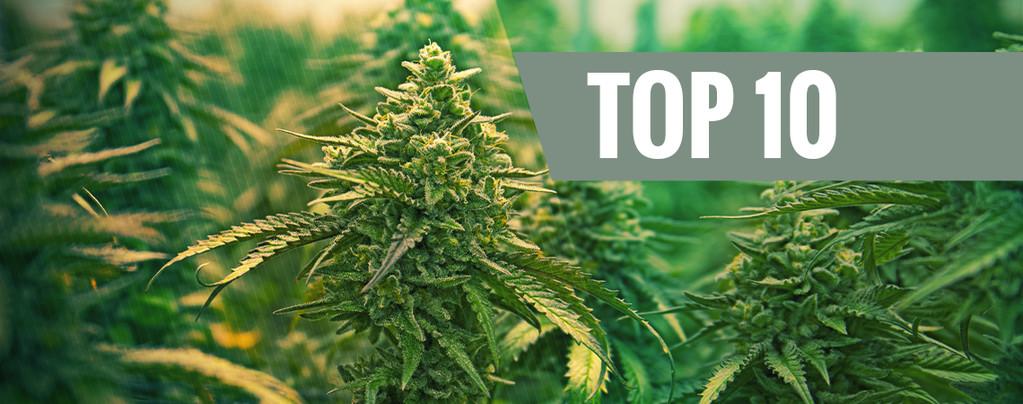 Top 10 – de beste feminized cannabissoorten