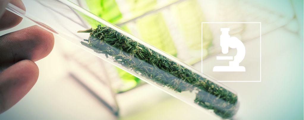 Meer dan cannabinoïden: Flavonoïden, Terpenen & Terpenoïden van Cannabis