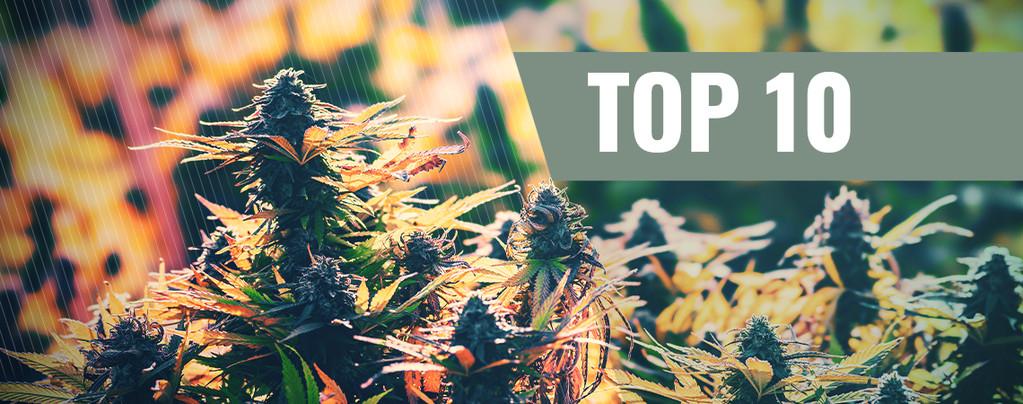 Onze Top 10 gefeminiseerde strains voor buiten