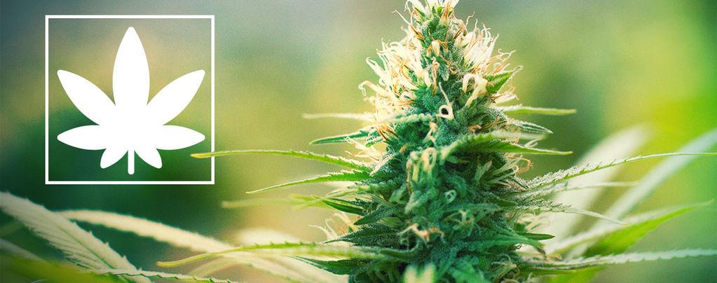 Jack Herer: Marihuana-activist