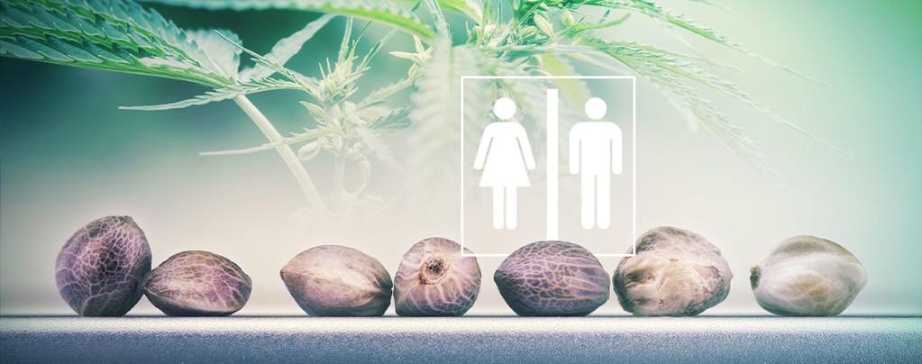 Geslacht Van Cannabiszaadjes