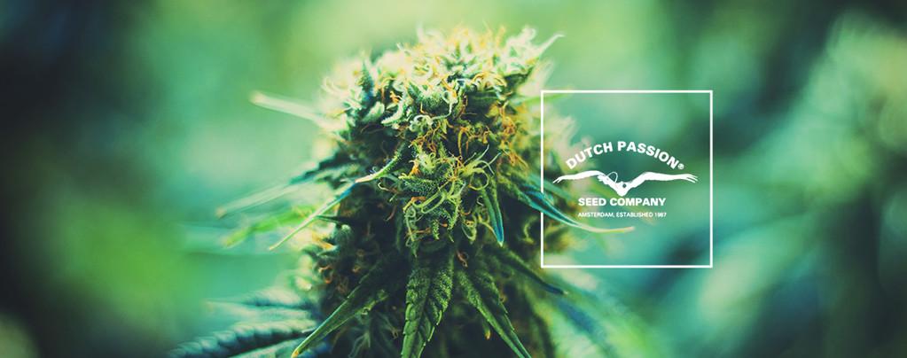 Alles over Dutch Passion: Een blik op hun meest populaire cannabis soorten