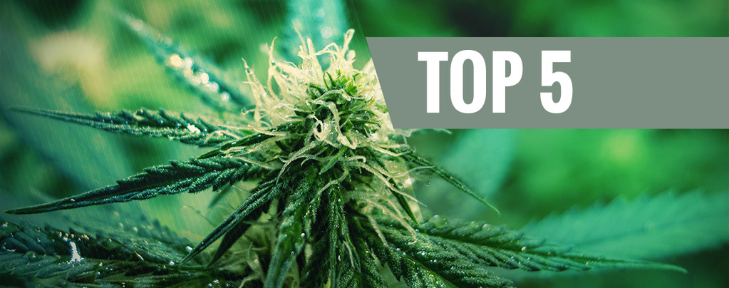 Top 5 Cannabis Sativasoorten Voor 2019