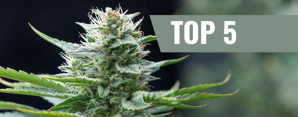 Top 5 Cannabis Sativasoorten Voor 2019