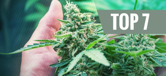 7 Veelvoorkomende Oorzaken Die Stress Veroorzaken Op Je Cannabis Plant
