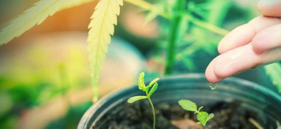 Wat Is Het Beste Water Voor Cannabis Planten?