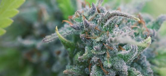 Hoe Kweek Je Zelf Biologische Cannabis?