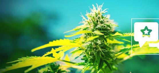 Power Flower: Cannabis Strain Review & Informatie