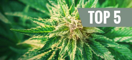Wat is cannabis ruderalis?