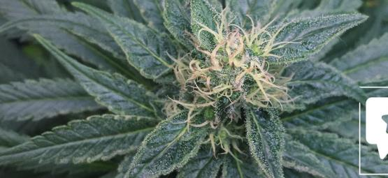 Strain Review: Royal Medic van Royal Queen Seeds