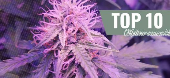 Top 10 Milde Strains Voor 2016