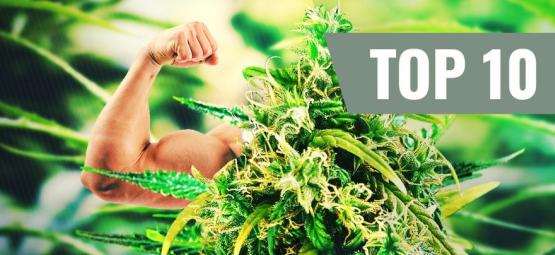 Top 10 Sterkste En Meest Potentiële Cannabis Soorten
