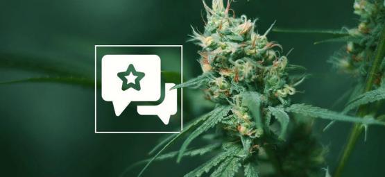 Big Buddha Cheese: Cannabis Strain Review & Informatie