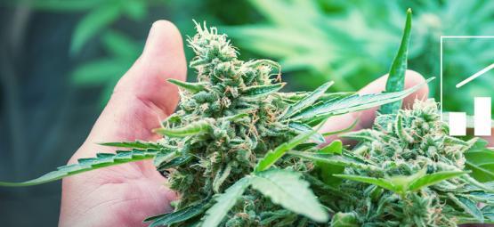 6 Manieren Om De Cannabisoogst Te Vergroten