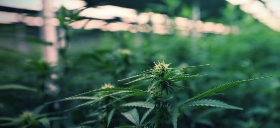 Het gebruik van LED-verlichting om alles uit je cannabiskweek te halen
