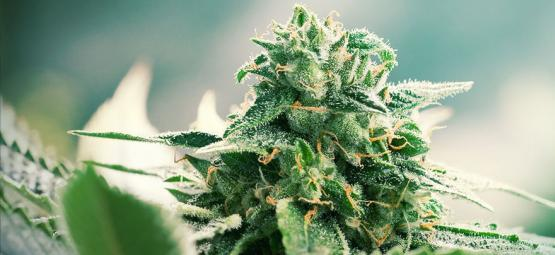 De Oorsprong Van Haze Cannabis En De Top 3 Haze Soorten