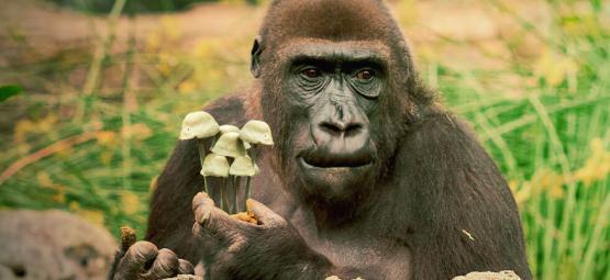 De Stoned Aap Theorie van Menselijke Evolutie