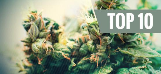 Top 10 Autoflowering Cannabis Soorten