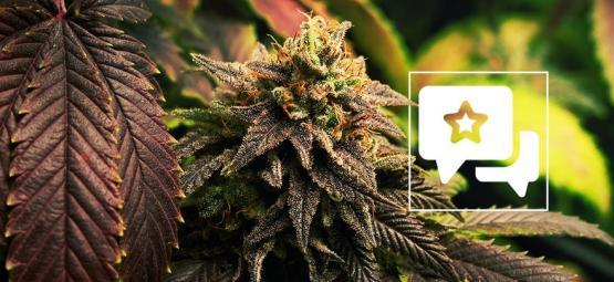 Blue Widow: Cannabis Strain Review & Informatie
