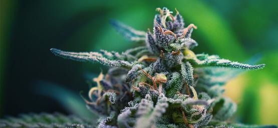De Beste CBD- En THC-Rijke Cannabis Strains Voor Pijnstilling