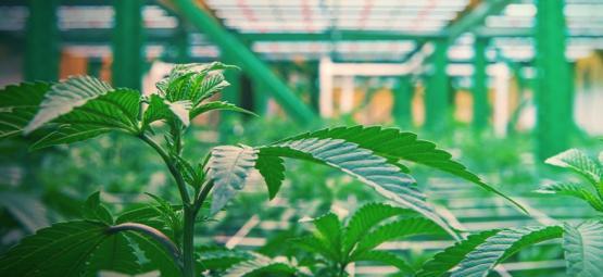 Is Verticale Cultivatie De Nieuwe Kweektrend Voor Cannabis?