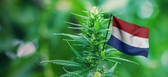 De Beste Cannabis Soorten Om In Nederland Te Kweken
