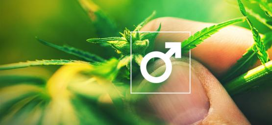 Wat Te Doen Met De Mannelijke Cannabis Plant?