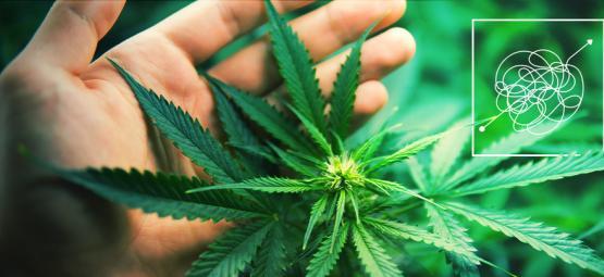 Lastig Te Kweken, Enorm Lonende Cannabis Soorten
