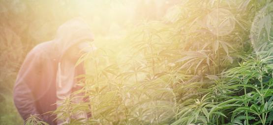 De Beste Cannabis Strains Voor Guerrilla-Kweek