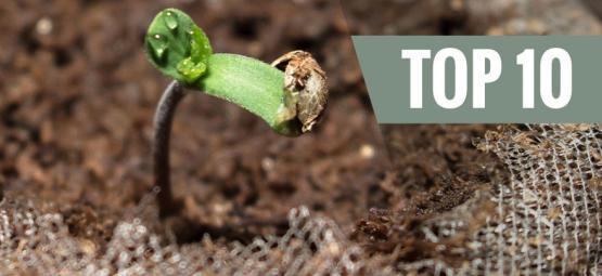 Eenvoudig te Kweken Cannabisplanten (Voor Beginners)