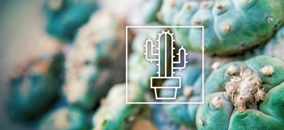 De Verschillen In Mescaline Cactussen