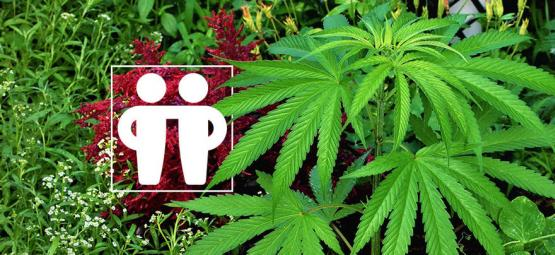 Gezelschapsplanten Voor Het Voeden & Beschermen Van Je Cannabis