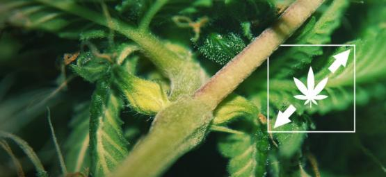 6 Manieren Om Het Uitstrekken Van Cannabisplanten Te Verminderen