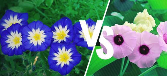 Morning Glory Vs. Hawaiian Baby Woodrose: Wat Is Het Verschil?
