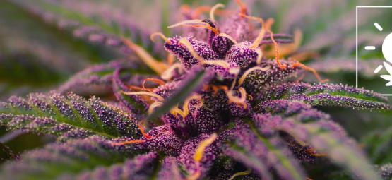Hoe Je Kleurrijke, Paarse Cannabis Toppen Kweekt